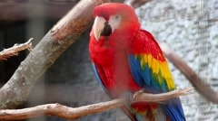 Scarlet Macaw - Ara Macao - stock footage