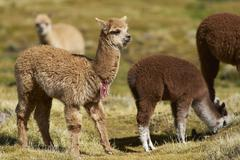 Alpaca on the Altiplano of Chile - stock photo