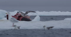 Kittiwakes land on narwhal carcass on icberg Stock Footage