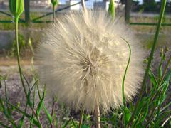 big beautiful dandelion, afraid of the wind - stock photo