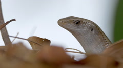 Common Sun Skink Lizard Macro Closeup of Eye - stock footage