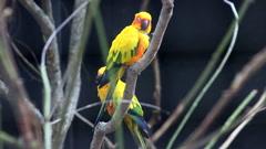 Beautiful Couple of Sun Parakeet Stock Footage