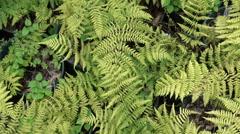 Ferns plants fern in Stock Footage