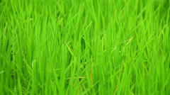 Rice fields in light wind Stock Footage