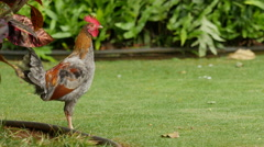 A Rooster crowing Stock Footage