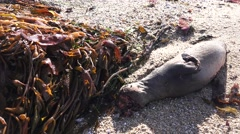 DEAD SEA LION ON THE BEACH, survival of the fit - stock footage