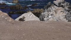 Vultures on the rocks, ground squirrel watching Stock Footage