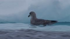 Glaucous gull swims next to edge of sea ice in choppy water Stock Footage