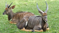 Nyala Tragelaphus angasii in nature. Stock Footage