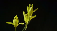 Timelapse of a Yellow Daylily Flower Blooming and Fading on Black Background - stock footage