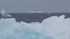 Slow motion - polar bear swims behind iceberg while gull lands on it Stock Footage