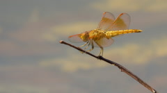 Yellow and Orange Dragonfly Sitting on Stick, Then Flies Away Stock Footage