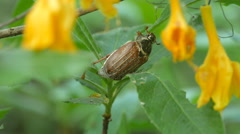 Maybug, chafer beetle is feeding on a flowers. Stock Footage