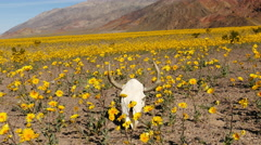 Zoom Out of Skull & Desert Flower Super Bloom in Death Valley Stock Footage