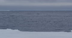 Right whale in distance beyond ice edge rests in arctic sea Stock Footage