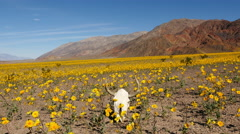 Time Lapse of Skull & Desert Flower Super Bloom in Death Valley Stock Footage