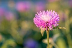 Flower of the whitewash cornflower - stock photo