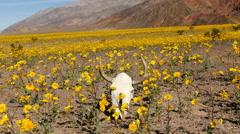 Time Lapse of Skull & Desert Flower Super Bloom in Death Valley Stock Footage