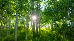 Aspen forest green with sunset through trees 4K Stock Footage