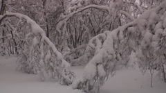 The dense winter forest, large drifts, snow-covered trees. Stock Footage