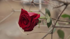 Red rose in a dried bushes Stock Footage