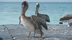 Pelican Sunbathing Stock Footage