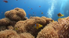 Symbiosis of clown fish and anemones. Stock Footage