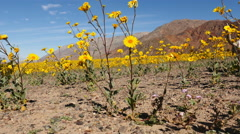Dolly of Skull & Desert Flower Super Bloom in Death Valley Stock Footage