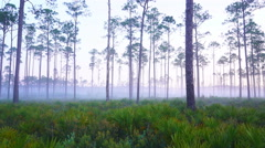 Pine Forest in Deep South Stock Footage
