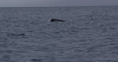Dark narwhal swims through arctic oceans with splashes Stock Footage