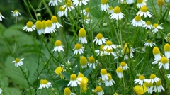 Pharmaceutical camomile. Matricaria chamomilla. View from left to right Stock Footage