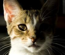 Portrait of little domestic cat with strong shadow - stock photo