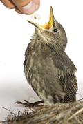 This little starling fell out the nest. - stock photo