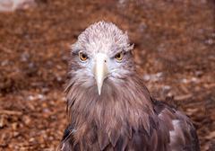 Portrait of majestic hawk looking on camera Stock Photos