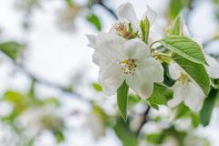 Beautiful blooming apple tree in spring Stock Photos