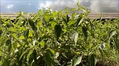 Blowing nettle plants.mp4 Stock Footage