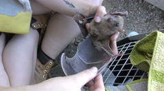 Volunteer holds injured fruit bat after its habitat was demolished Stock Footage