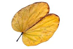 Yellow Autumn Colored  Camels Foot Leaf Patterns and Textures - stock photo
