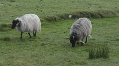 Irish Sheep on the windy meadow - stock footage