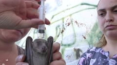 Veterinarian dispenses subcutaneous under skin infusion to injured fruit bat - stock footage