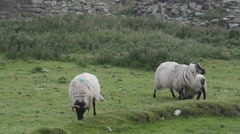 Irish Sheep - stock footage