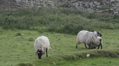 Irish Sheep Stock Footage
