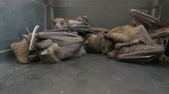 Exhausted fruit bats wait in cage after their habitat was demolished. - stock footage