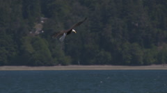 A Bald Eagle In Flight Dives and Catches a Fish in a Most Masterful Fashion - stock footage