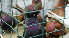 fancy pigeons in cage at exhibition - stock footage