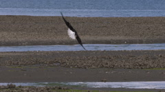 A Bald Eagle In Flight Dives and Catches a Fish Stock Footage