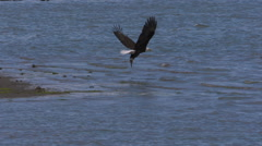 A Bald Eagle In Flight Dives and Catches a Fish - stock footage