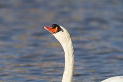 Alert mute swan Stock Photos