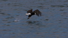 A Bald Eagle Dives and Catches a Fish Stock Footage