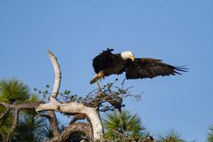 Bald Eagle rearranging its position - stock photo